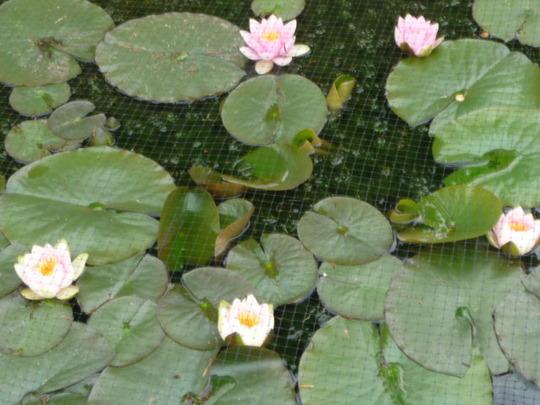 Pond Lilly's