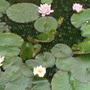 Pond_lillys