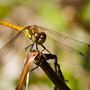 Common Darter (Sympetrum striolatum)