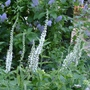 Veronica_longifolia_white_form_2012