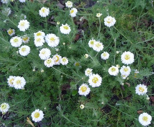 Chamaemelum nobilis 'Flore Pleno' - 2012 (Chamaemelum nobilis)