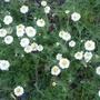 Chamaemelum_nobilis_flore_pleno_2012