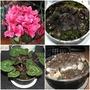 Cyclamen persicum cv 'Rosamunda'
