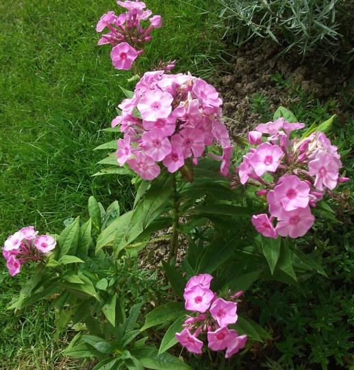 Phlox paniculata junior dark pink (Phlox paniculata (Perennial phlox))