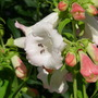 "Penstemmon Phoenix ""Apple Blossom"""