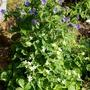 Geranium erianthum