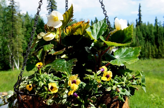 Hanging Baskets, Early