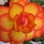 Begonia Nigra Scarlet (Begonia)