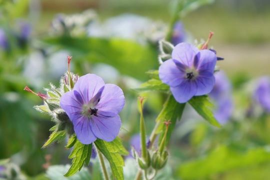 Geranium, 'Johnson Blue'