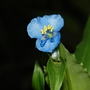 Commelina tuberosa (Commelina tuberosa)