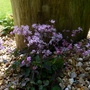Thalictrum kiusianum still going strong... (Thalictrum kiusianum)