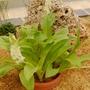Eucomis zambesiaca (Eucomis zambesiaca)