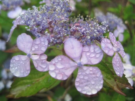 hydrangea H macrophylla (hydrangea H. macrophylla)