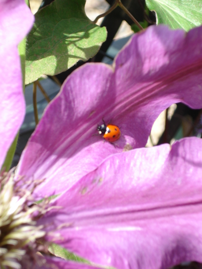 Ladybird on Clematis