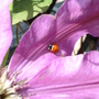 Ladybird on Clematis