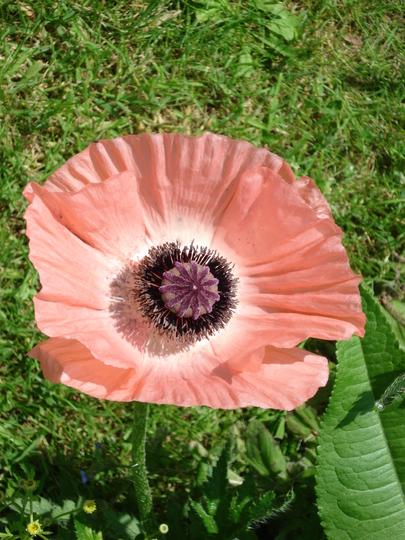 Perennial poppy bit wishy washy!