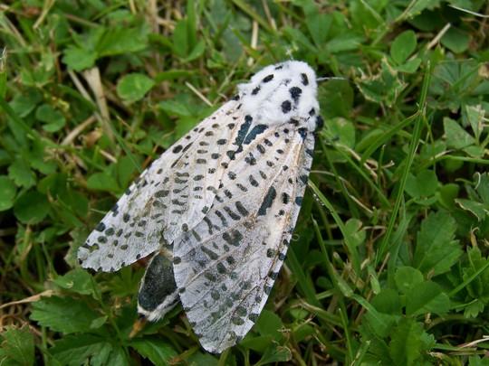 Loepard Moth