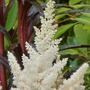 Astilbe_white_glory_