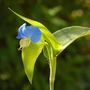 Commelina communis (Commelina communis (Asiatic Dayflower))
