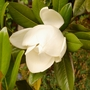 Magnolia grandiflora (Magnolia grandiflora (Bull Bay))