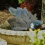 Pigeon Having a Bath