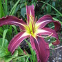 Seedling (Hemerocallis)
