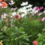cosmos, front garden