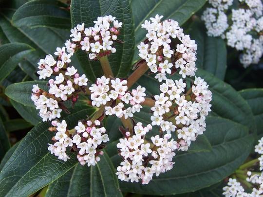 photo from last year(07) (Viburnum davidii (Viburnum))