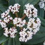 photo from last year(07) (Viburnum davidii (Viburnum))