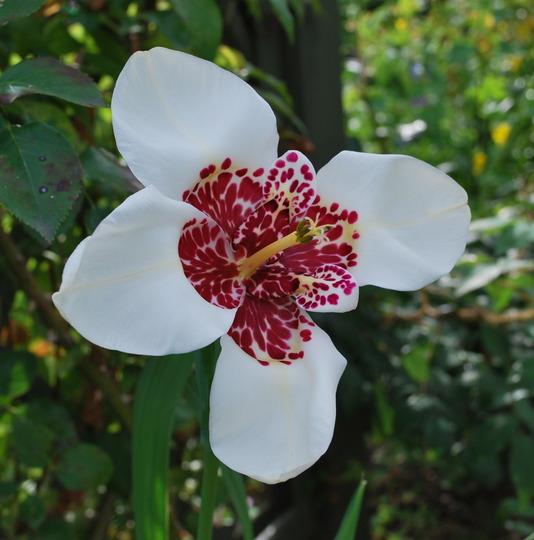 Tigridia...... (Tigridia pavonia (Tiger flower))