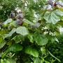 Catalpa_.bean_tree_.