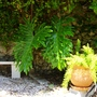 """Philodendron and Asparagus densiflorus """"Myersii"""""""