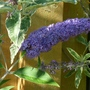For my records... (Buddleja davidii 'Empire Blue')