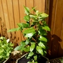 Laurus Nobilis...for my records (Laurus nobilis (Sweet bay))