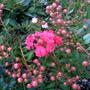 Lagertsroemia 'Cherry Dazzle' (Lagerstroemia indica)