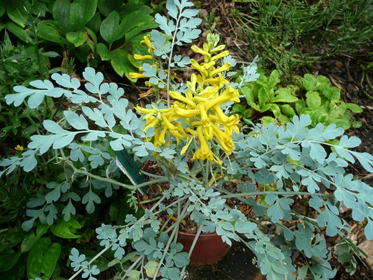Corydalis on blog