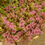 Pink Ground Cover.