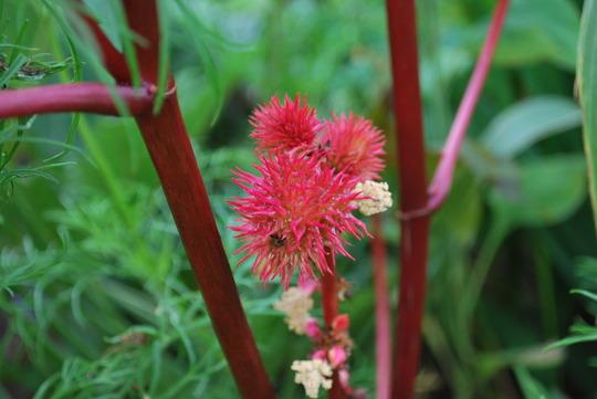 Ricinus flower..... (Ricinus communis (Castor oil plant))