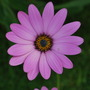 Osteospermum Cannington Roy.. (Osteospermum Cannington Roy.)
