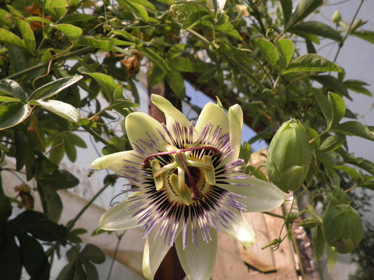 Passionate passion flower (try again, (again))