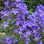 Campanula