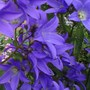 Close up Campanula