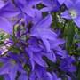 Close up Campanula