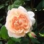 Rick's Rose