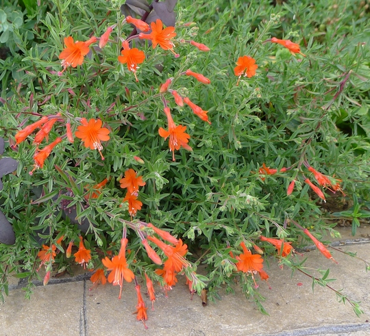 Zauschneria californica - 2012 (Zauschneria californica)