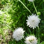 Knautia_arvensis_f._albiflora_2012