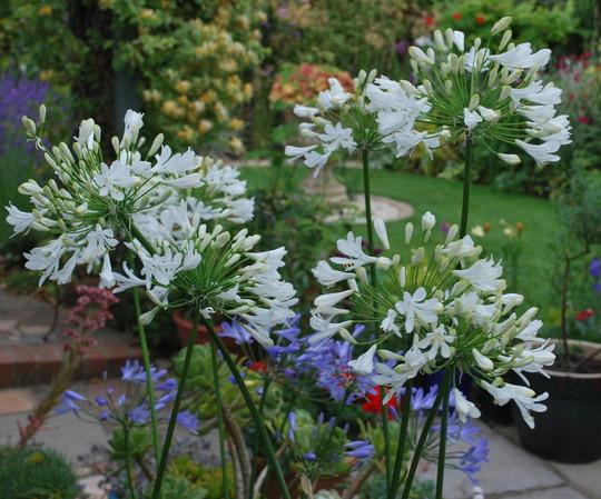 White Agapanthus.... (Agapanthus campanulatus (African blue lily) White)