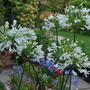 White Agapanthus.... (Agapanthus campanulatus (African blue lily) White)