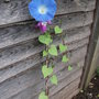 Morning Glory Heavenly Blue (Ipomoea purpurea (Morning glory))