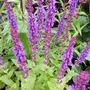 Salvia x sylvestris 'Blue Queen' (Salvia x sylvestris Blue Queen)